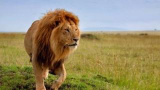 ライオンが育ててくれた人間に久しぶりに再会したときの反応