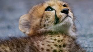 チーターの赤ちゃんが可愛いすぎてツラいwwwww ※画像※