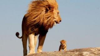 【画像】ライオンさんの筋肉ヤバいwwwww