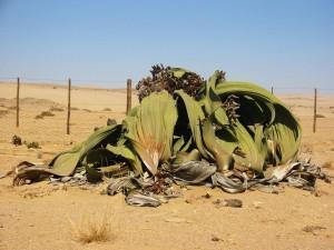 Welwitschia_mirabilis2-900x675