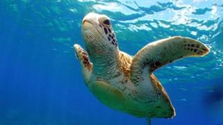 【画像】アカウミガメに水着を着せてみたwwwwwwwwwwww