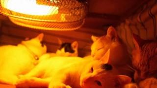 【動画】コタツの中での猫たちの過ごし方