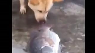 陸に打ち上げられた魚を助けようとする優しい犬のGIF画像と動画