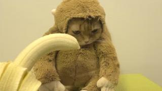 猫に猿のコスプレさせてバナナ食わせる日本発の動画が世界で話題 なんか可愛くなくてワロタwww