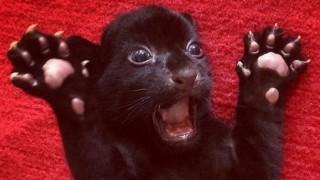 【画像】全身黒色「メラニズム」の動物たちカッコ良すぎwwwww