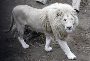 albino_lion-cd30e
