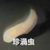 謎の深海生物 「珍渦虫(ちんうずむし)」60年経て正体判明 ※画像・動画アリ※