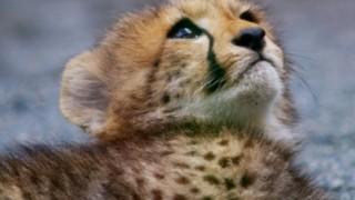 母親を亡くした子チーターたちを育てるワンコ<動画>赤ちゃんチーターかわゆす(*´∀`*)