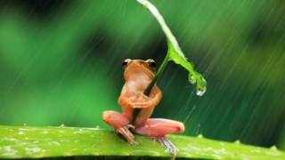 カエルを食べるカエル 珍妙な光景が撮影される ※画像※