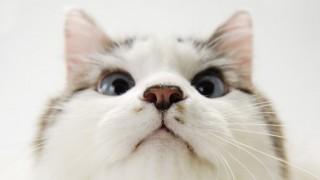 おまえらの推し美人ネコ挙げてけ<画像30枚>世界一美しい猫が話題