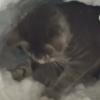 降り積もった雪で「かまくら」を作る猫が話題に<動画像>せっせと雪ほってる姿が可愛い(*´∀`*)