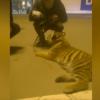 ショッピングセンターにトラを見せびらかしに行った結果 ※動画アリ※