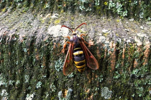 hornet-moth-6