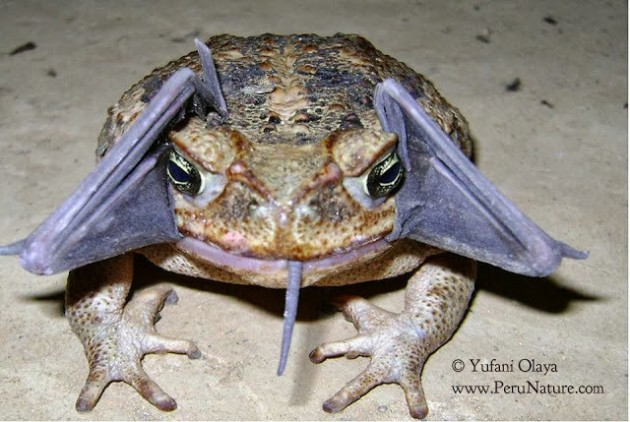 la-sci-sn-frog-tries-to-eat-bat-photo-20130925