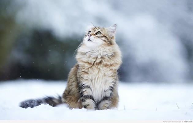 wpid-Snow-Cat.jpg