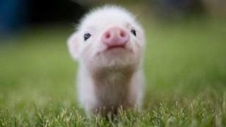 ニシキヘビと豚の喧嘩が凄くてワロタ <GIF画像>ワロタ・・・