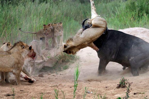 PAY-Buffalo-v-Lions (2)