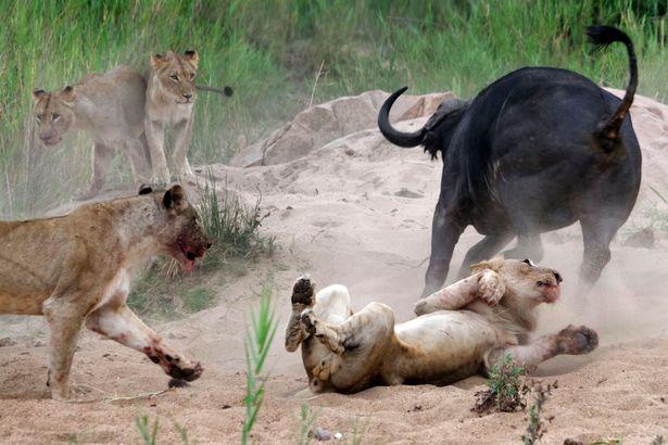 PAY-Buffalo-v-Lions (3)