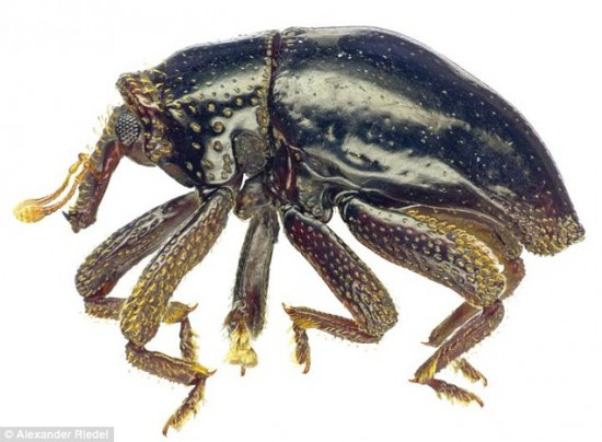 wpid-3396226000000578-3561485-The_tiny_black_weevil_beetle_discovered_in_leaf_litter_in_New_Br-a-18_1461761130452.jpg
