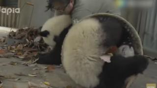 まるでコント 飼育員の掃除の邪魔ばかりする子供パンダたち<動画>やりたい放題 おまえら自由かwwwww