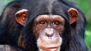チンパンジーに赤ちゃんの世話を任せた結果<閲覧注意>これは畜生だな・・・