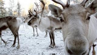 フィンランドのトナカイさん 幻獣と化す