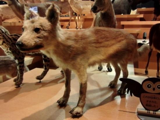 Japanese_Wolf