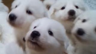 子犬たちの怒涛のモフモフ責めがヤバい<動画とGIF>もふもふ天国ぐううらやましいwwwww
