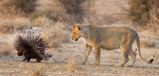 Lion_Porcupine_IIs