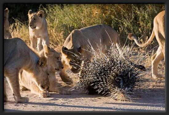 lion_vs_porcupine-05-img_2926_inslrgs