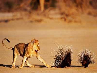 porcupinesgooddefenses