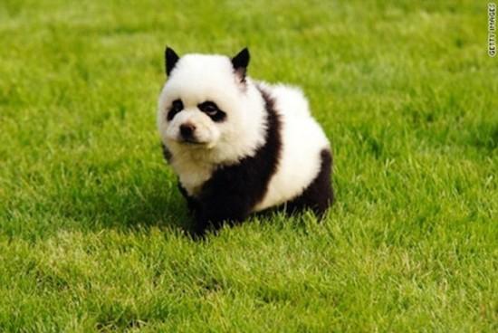パンダ犬チャウチャウ-4
