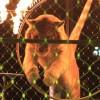 サーカスで酷い扱いを受けボロボロになったトラの姿が痛々しすぎる(´;ω;`)ウッ