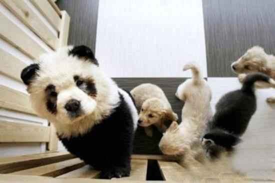 パンダ犬チャウチャウ-3