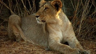 イヌのように人間にじゃれるライオンが可愛い(* ̄∇ ̄*) 育ての親と久々対面したライオンの反応