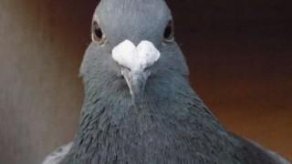 アホ過ぎる鳩のコントみたいなおバカ映像