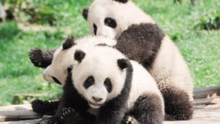 子供パンダたちを並べて干すだけの簡単なお仕事です ⇒きゃわわ画像