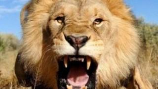 イメージぶち壊すライオンさんのカッコ悪い姿をご覧ください →画像