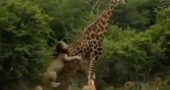 lion-v-giraffe-620x330