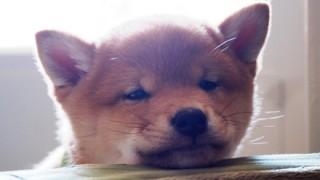 柴犬の赤ちゃんの可愛さは異常