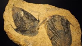 完全に三葉虫 200年ぶりに見つかった昆虫がなんか凄い →「三葉虫カブトムシ(サンヨウベニボタル)」画像と動画