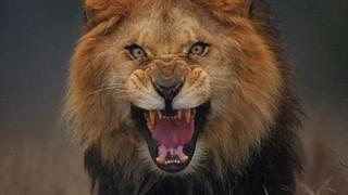 キリンに軽くあしらわれる百獣の王ライオンさん →GIF画像