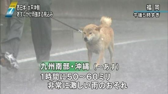 zubunure_shibainu_1