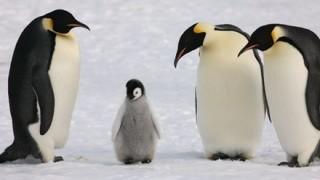 飼育員の脚の間に顔をうずめるペンギンの雛がぐう可愛いンゴwwwww