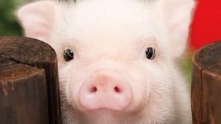 人と豚を組み合わせた胎児の誕生キタ―(゚∀゚)― !!