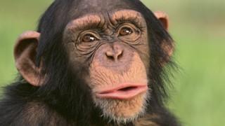 チンパンジーの最高IQがヤバいwwwwww