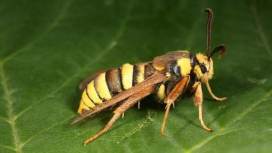 hornet-moth-cover