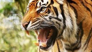 お前らでも勝てそうな『虎』が話題 → 画像