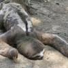 ◆ナマケモノ◆の『怠け者っぷり』が良く判る衝撃動画