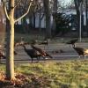 七面鳥の群れが猫の死骸を囲んでまわる謎の儀式が話題 → 動画とGIF